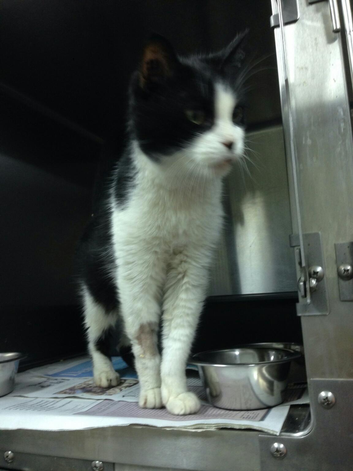 Fabulous trouvé chat noir et blanc (GRINGO) JY65